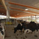 First group of cows in cross ventilation barn, October 6, 2010.