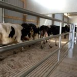 Special Needs Barn - First group of cows moving in - June 18, 2015