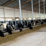 Special Needs Barn - First group of cows enjoying their new facility - June 18, 2015