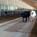 Special Needs Barn - Next group of cows moving into the new barn - June 24, 2015