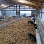 Calves Enjoying New Barn - December 2015